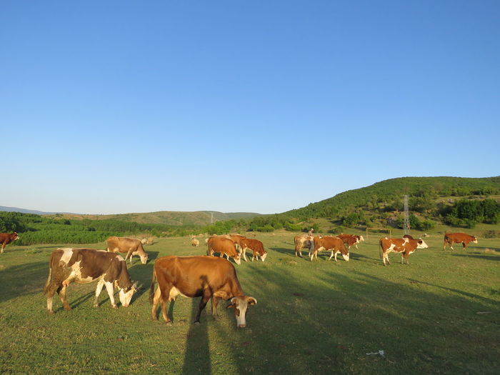 Rural Scene Grazing Agriculture Tree Cow Togetherness Full Length Group Of Animals Cattle Ranch