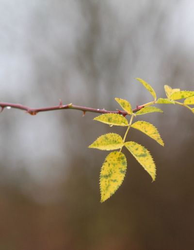 Leaf Nature Autumn Growth Focus On Foreground Outdoors Day Close-up No People Plant Beauty In Nature Fragility Maple Tranquility Beauty In Nature Herbst17 🦋 Autumn17 Nature