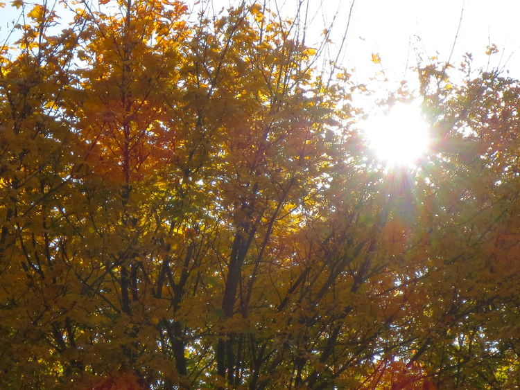 Autumn Leaves Autum Skys Leaves And Sky Autumn Trees And Sky Color Plants Colorful Sunshine Sunlight Sunlit Leaves