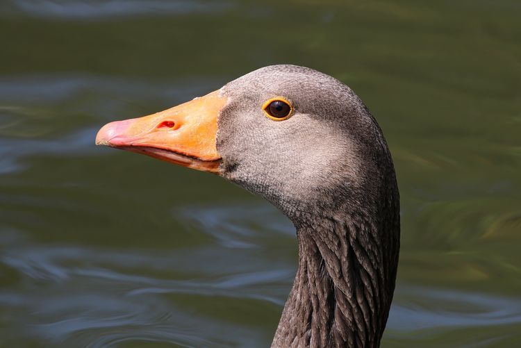 Greylag Animal Animal Body Part Animal Head  Animal Themes Avian Beak Beauty In Nature Bird Black Color Close-up Day Feather  Focus On Foreground Lake Nature No People Outdoors Rippled Selective Focus Water Wildlife