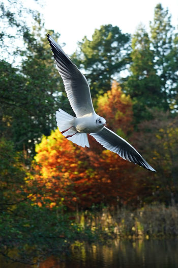Seagull flying over a tree