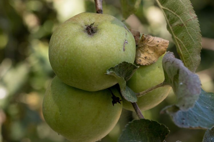 Green apples on a branch in a tree Apple Apple - Fruit Apple Tree Apples Close-up Growth Macro Macro Beauty Macro Nature Macro Photography Macro_collection Macrophotography Tree