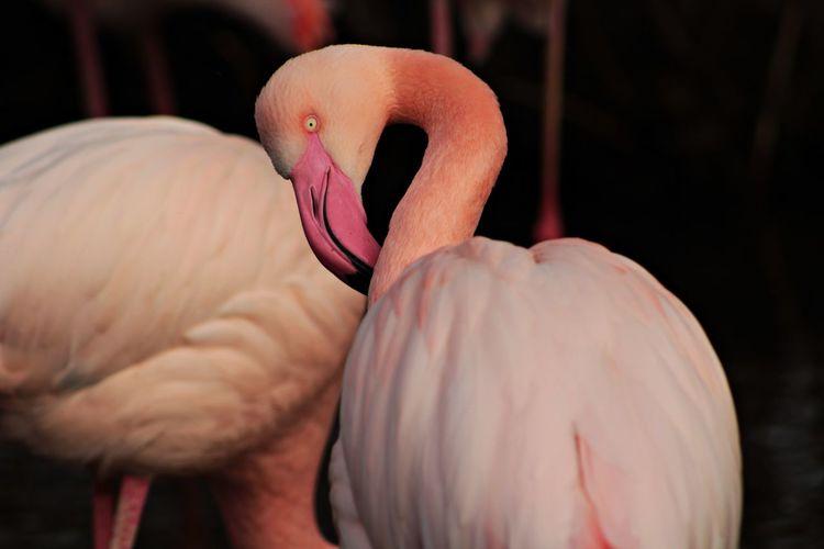 Close-up of a pink flamingo