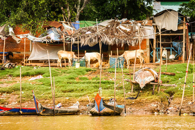 EyeEm Selects Outdoors Fishing Village Cambodia Real Life In Cambodia Real Life Tree Full Length Livestock Cattles House By The River Asian Culture ASIA Lifestyles
