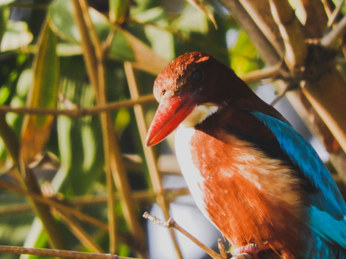 Halcyon Smyrnensis Halcyon Smyrnensis Beak Kingfisher Perched Perching Bird White Throated Kingfisher India Bird Multi Colored Beak Red Feather  Ibis Tree Eye Tropical Climate Close-up HEAD Animal Eye