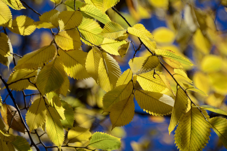 Close-Up Of Yellow Autumn Leaves On Twig