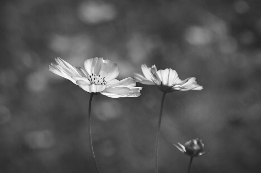 Autumn Collection EyeEm Nature Lover monochrome photography Blackandwhite EyeEm Flower Flowering Plant Flower Freshness Plant Fragility Vulnerability  Beauty In Nature Focus On Foreground Close-up Flower Head Petal