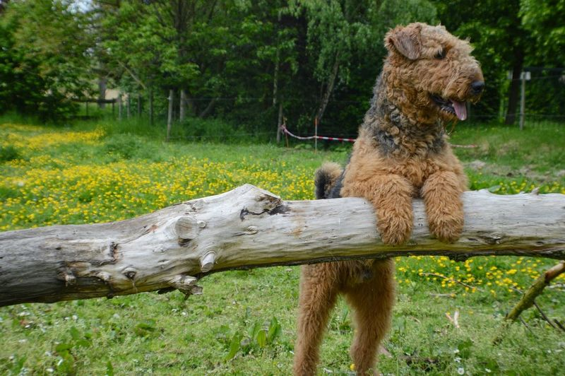 Welsh Terrier Over Fallen Tree At Grassy Field