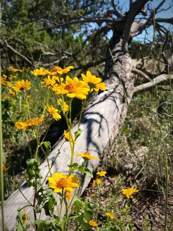 """""""Life And Death"""" The stark reality of nature where new life simply and beautifully entwines itself with death and refreshes the ever changing landscape. Here bright yellow sunflowers contrast with the gray trunk of a long fallen Juniper tree. New Mexico Photography New Mexico Yellow Flower Contrast Wildflowers Wildflower Juniper Sunflower Sunflowers Life And Death In Nature Yellow Flower Flowering Plant Growth Nature"""