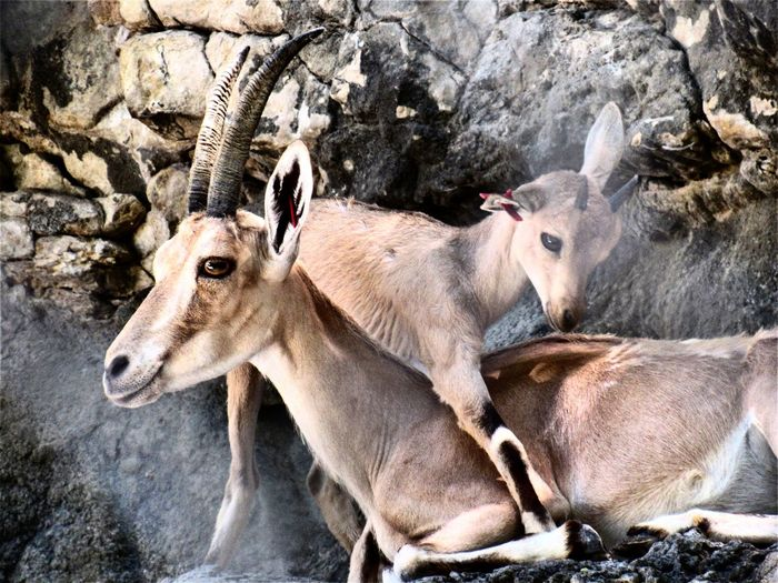 Animal Love Premium Collection EyeEm Selects Close-up Deer Fawn Stag Antler Wild Animal