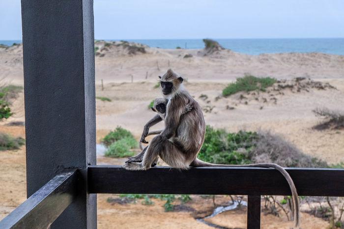 Animal Dry Monkey Mother Nature Sand Sun