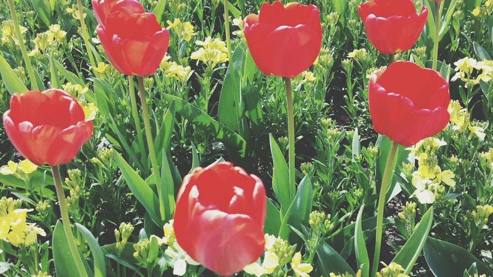 Tulips🌷 Red Color Greenery In Bloom Blossoming  Spring Stamen Blooming Flora Vegetation Botany Plant Life Growing