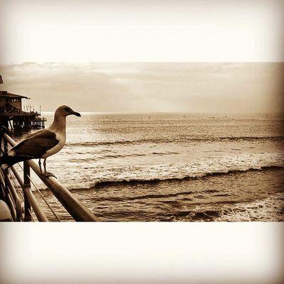 Seagull Ocean California Losangeles Santamonica Beach Istanbul Turkishgram Beşiktaşk Besiktas Instagood Instamod