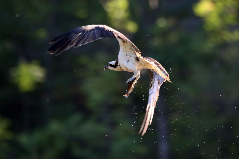 Close-Up Of Osprey Flying With Fish