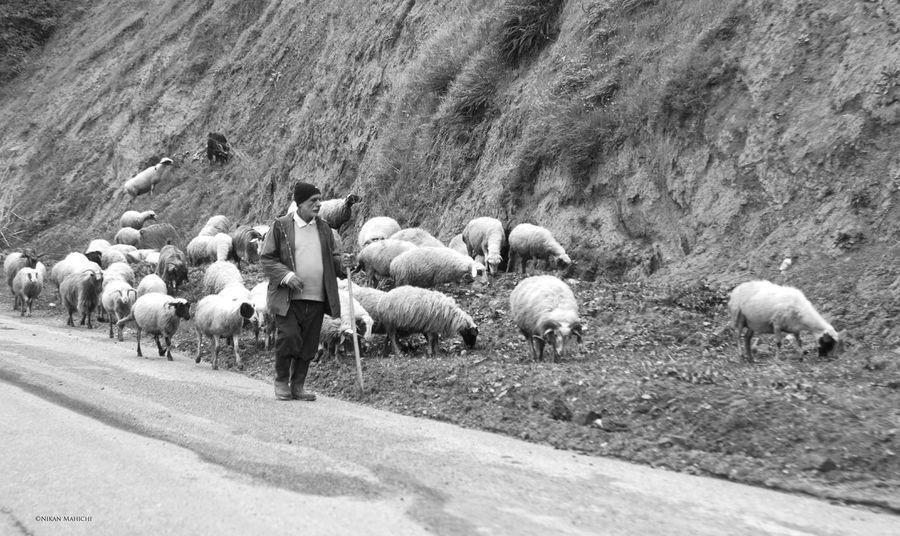 Nikonphotography Nikon D300s Nikon , Sheep Outdoor Photography Iran Blackandwhite Natural Nikanmahichi