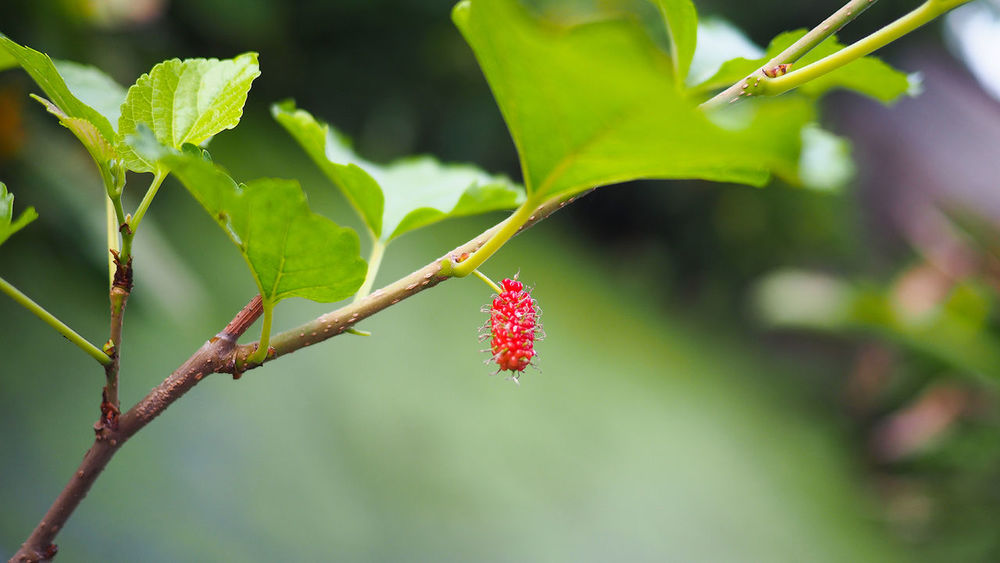 Animal Themes Beauty In Nature Close-up Day Flower Focus On Foreground Fragility Freshness Green Color Growth Leaf Nature No People Outdoors Plant Red Tree Mulberry Tree Mulberry Mulberry Fruit