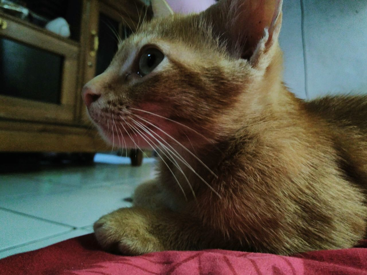 domestic cat, pets, domestic animals, one animal, animal themes, mammal, feline, whisker, cat, indoors, home interior, close-up, no people, sitting, portrait, ginger cat, day