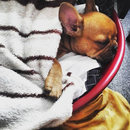 Französische Bulldogge  Schlafender Hund Sleeping Good Morning Nice Day Welpe No People Indoors  Day Portrait Animal Themes Dog One Animal Hunde Liebe ♡ Puppy Cute Sweet Funny Hundewelpe EyeEmNewHere Bulldog France Francebulldog First Eyeem Photo The Week On EyeEm