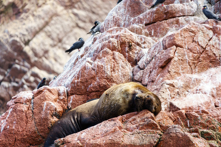 Seal relaxing on rock