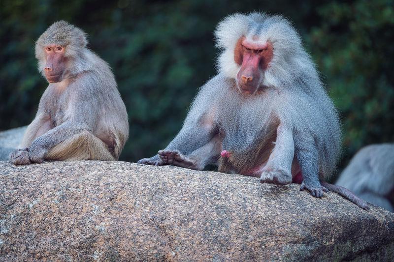 Baboon sitting on rock