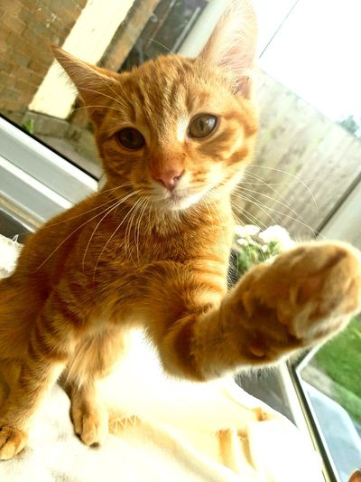 Loves a picture 📸 Lovekittycats Pets Close-up No People Domestic Cat Patterns Littletiger Adorable Looking At Camera Animal Indoors  Indoors  Cute Whisker Gingerkitten Kitten