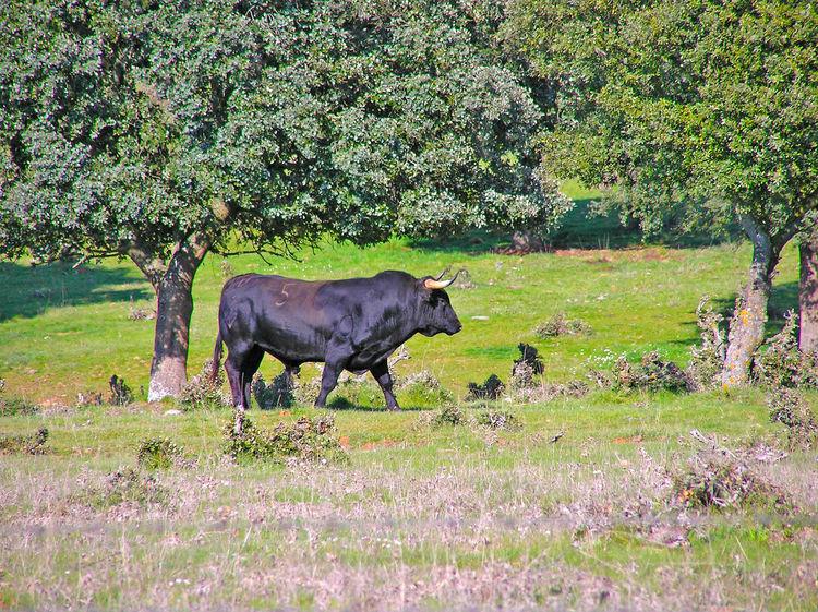 Animal Animal Themes Beauty In Nature Bull Bullfighting Country Life Countryside Cow Danger Dangerous Day Dehesa Environment Field Mammal Outdoors Pasture, Paddock, Grassland, Pastureland Power Powerful Quercus Quercus Ilex Toro Toros Wild Wildlife