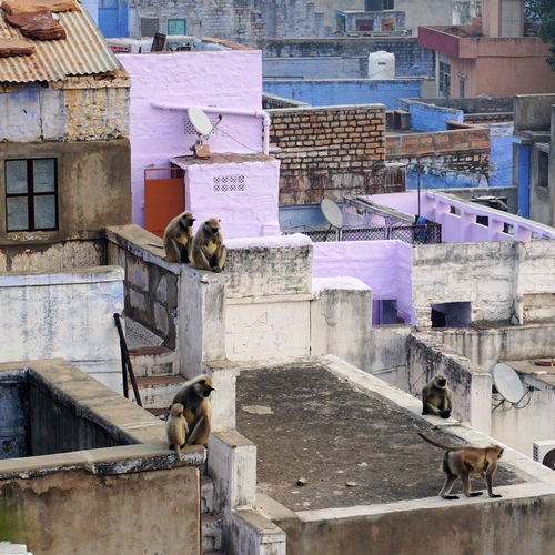 Flat colorful rooftops with many monkeys are a traditional view in the blue city jodhpur, india