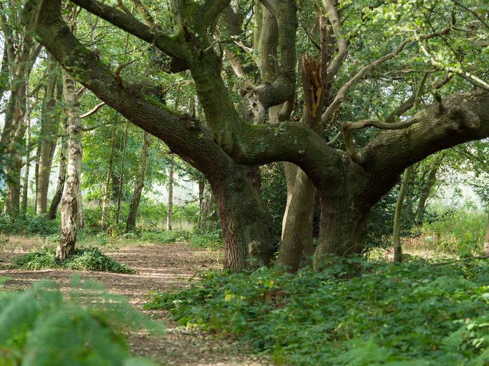 Summer Woods Day Forest Green Color Growth Land Nature No People Outdoors Plant Summer Woods Tranquility Tree Wimbledon Common WoodLand