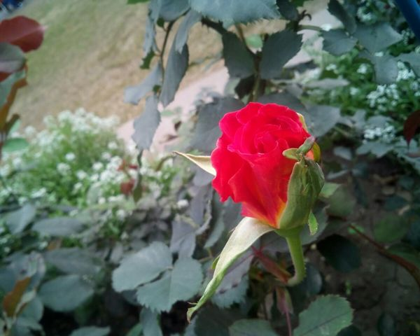 Rose🌹 Rose - Flower Roses Are Red Rosebud Floral Floral Perfection Flower Flower Collection Flowers,Plants & Garden Nature_collection Flowers, Nature And Beauty Garden Photography Showcase March Natural Beauty! Smartphonephotography 5mpcamera