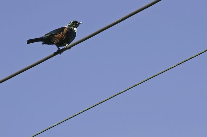 Tui bird on electric wires. Animal Wildlife One Animal Bird Clear Sky Animal Themes No People Songbird  Beauty In Nature Day Nature Sky Tui Bird New Zealand Native Bird Electric Wires Minimal Minimalism New Zealand
