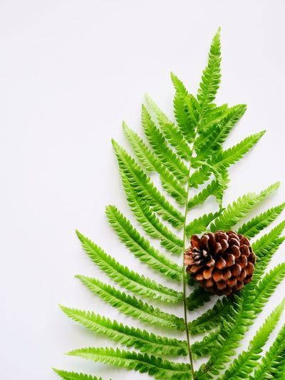 Color of the earth by natural green and brown Beauty By Nature Forest Leaves Forestphotography Fern Pinecone Green Color Leaf Studio Shot Plant White Background Growth Freshness Beauty In Nature Day Nature No People Close-up