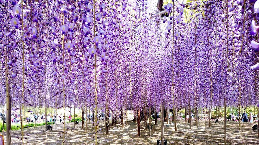 栃木 あしかがフラワーパーク お出掛け Japanese  Enjoying Life Tree Flower Flower Collection Trip Trip Photo