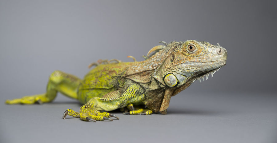 Animal Animal Body Part Animal Scale Animal Themes Animal Wildlife Animals In The Wild Close-up Copy Space Focus On Foreground Gray Gray Background Iguana Indoors  Lizard Nature No People One Animal Reptile Side View Studio Shot Vertebrate