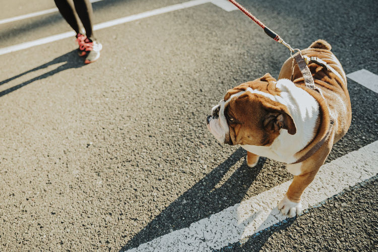 High angle view of dog on road