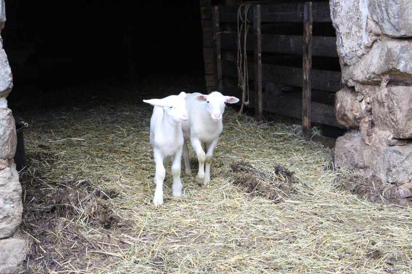 Domestic Animals Livestock Animal Themes Mammal Outdoors Day No People Nature Moutons Agneaux Pets Brebis