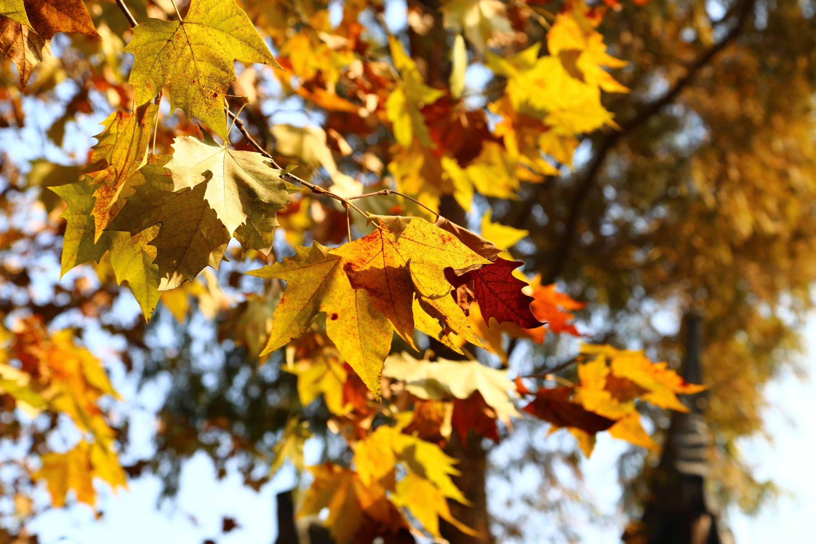 leaf, autumn, tree, change, branch, season, yellow, focus on foreground, leaves, nature, low angle view, close-up, growth, leaf vein, maple leaf, beauty in nature, day, selective focus, tranquility, sunlight