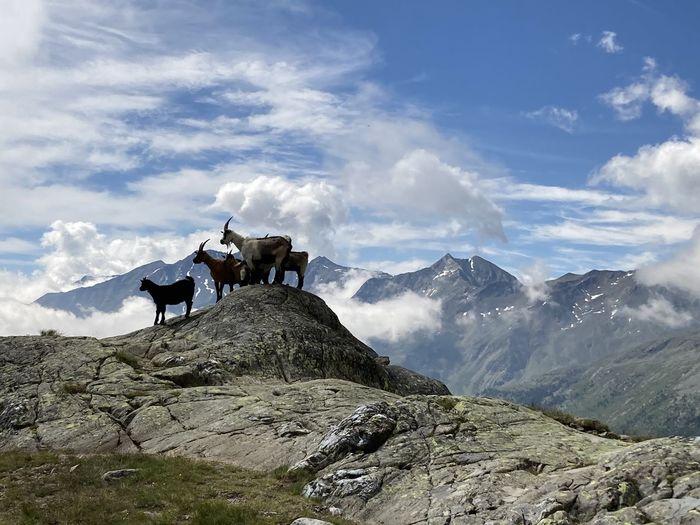 Goats on landscape