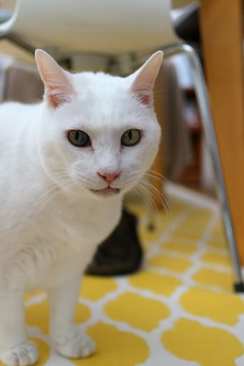 Close-up portrait of white cat at home