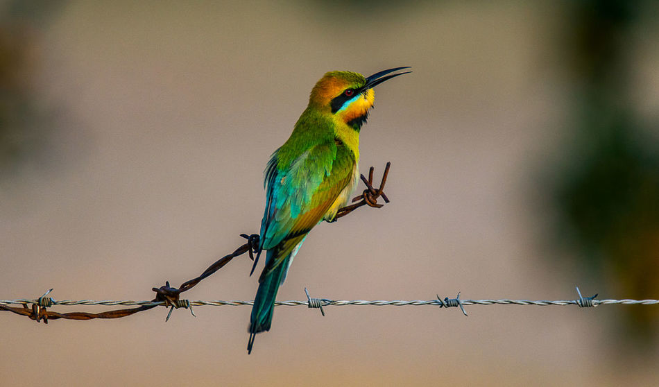 Rainbow Bee-eater (Merops ornatus) Birding Merops Ornatus Rainbow Bee-eater Rainbow Colors Animal Animal Themes Animal Wildlife Animals In The Wild Barbed Wire Barrier Bird Close-up Day Fence Nature No People One Animal Outdoors Perching Shepparton Vertebrate Wire