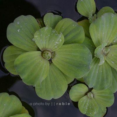 Bloom in calm water, clear in thought, virtue is growing Mekar di air yang tenang, jernih dalam berpikir dan kebajikan tumbuh kembang Semesta Songsofcompassion