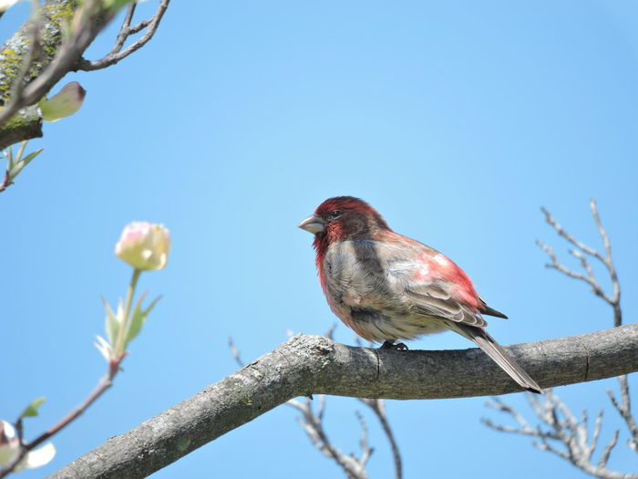Purple Finch Bird Animal Themes Vertebrate Perching Animal Branch Tree Animals In The Wild Low Angle View Animal Wildlife One Animal Plant Sky Clear Sky Nature Day No People Flower Beauty In Nature Close-up Outdoors