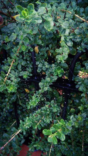 Wet Web Web Fresh Green Leaves