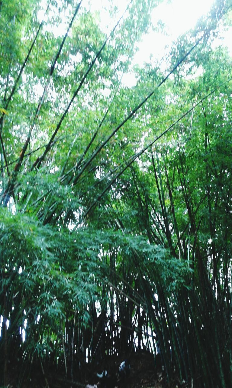 growth, nature, tree, green color, day, beauty in nature, low angle view, bamboo grove, bamboo - plant, no people, forest, outdoors, tranquility, plant, branch