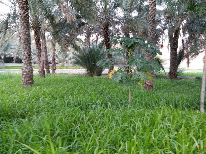 Our farm in al khufaiji. مزرعة الوالد في الخفيجي . العامرات Enjoying The Sights
