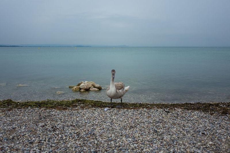 Swan at lakeshore against sky