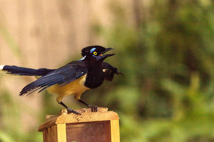 Plush-crested jay bird Cyanocorax chrysops is bright blue and yellow and is found in South America Cyanocorax Chrysops Jay Bird Plush-crested Jay Animal Themes Animals In The Wild Bird Birds Close-up Day Focus On Foreground Jaybird Nature One Animal Outdoors Perching