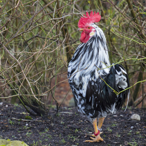Denmark Ree Park Wintertime Animal Close-up Danmark Day Domestic Animals Hane. Nature No People One Animal Outdoors Rooster
