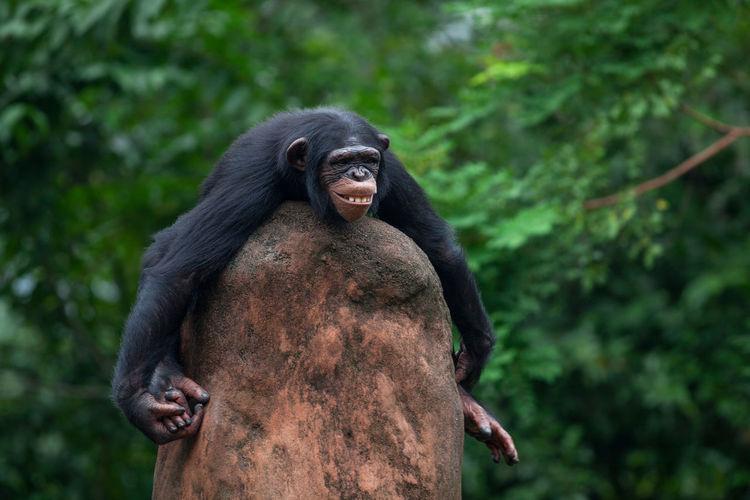 Chimpanzee sitting on rock against tree