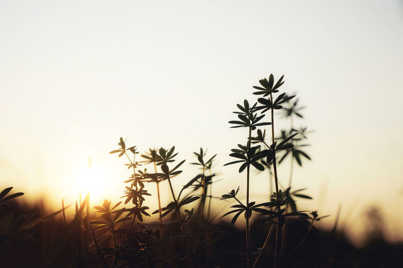 Close-up of silhouette plant on field against sky during sunset