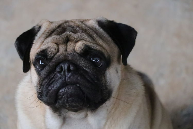 pug dog Face Dog Eye Animal Pets Portrait Dog Looking At Camera Young Animal Separation Pug Close-up Animal Body Part Puppy Canine